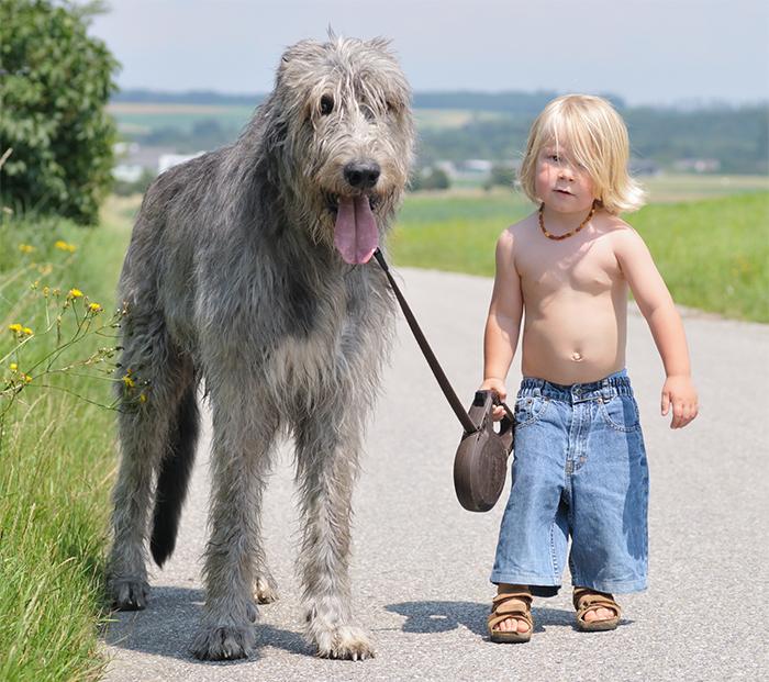 Boerboel Köpek Eğitimi