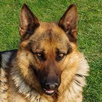 Basset Hound Köpek Eğitimi