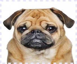 köpek eğitimi pitbull