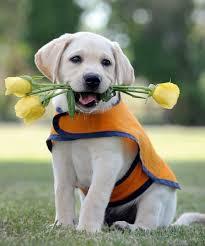 Bernese Mountain Dog Köpek Eğitimi
