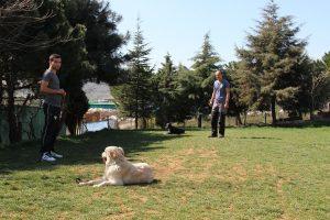 Beagle Köpek Eğitimi