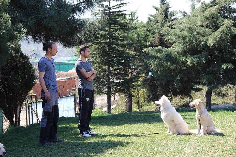 Köpek Eğitim Melez