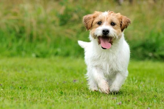 Köpek eğitimi bekle komutu