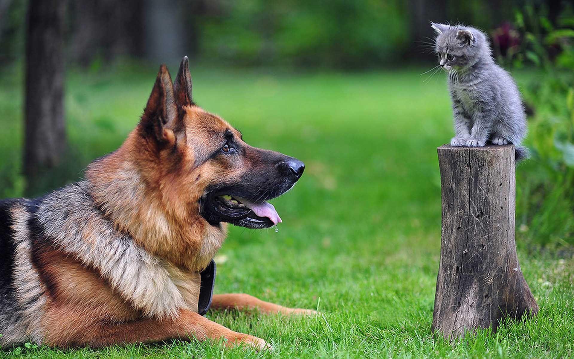 Belçika Kurdu Köpek Eğitimi