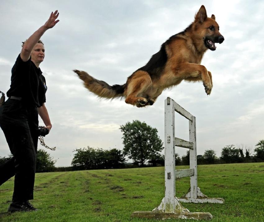 Alabay (Alabai) Köpek Eğitimi